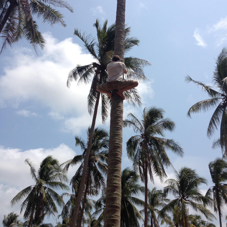 Как достать кокос с кокосовой пальмы?