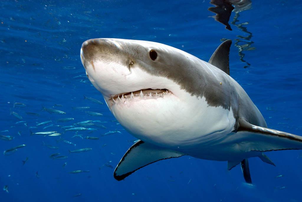 белая акула фото