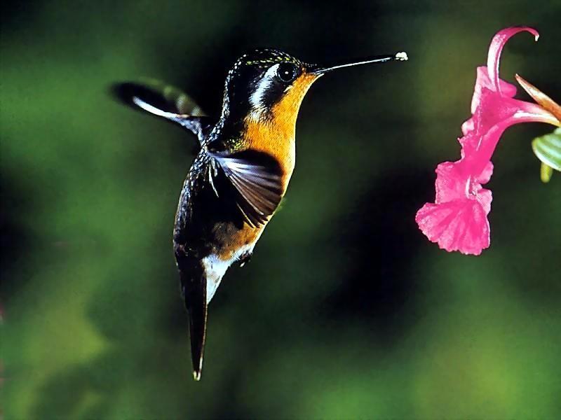 карликовая пчелка
