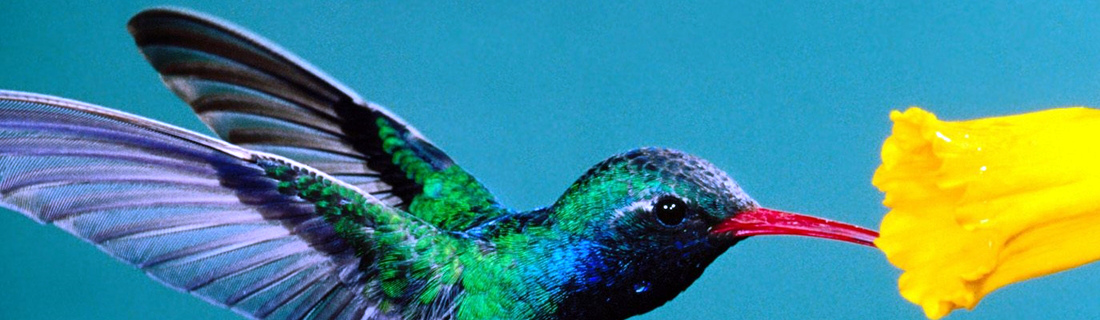 Пост милоты: где обитают загадочные птички колибри?