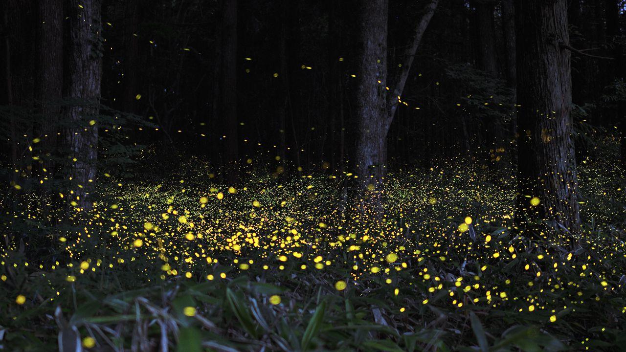 светлячки в селангоре