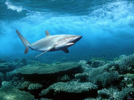 фото акулы