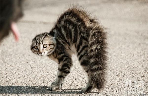 кошка бычит