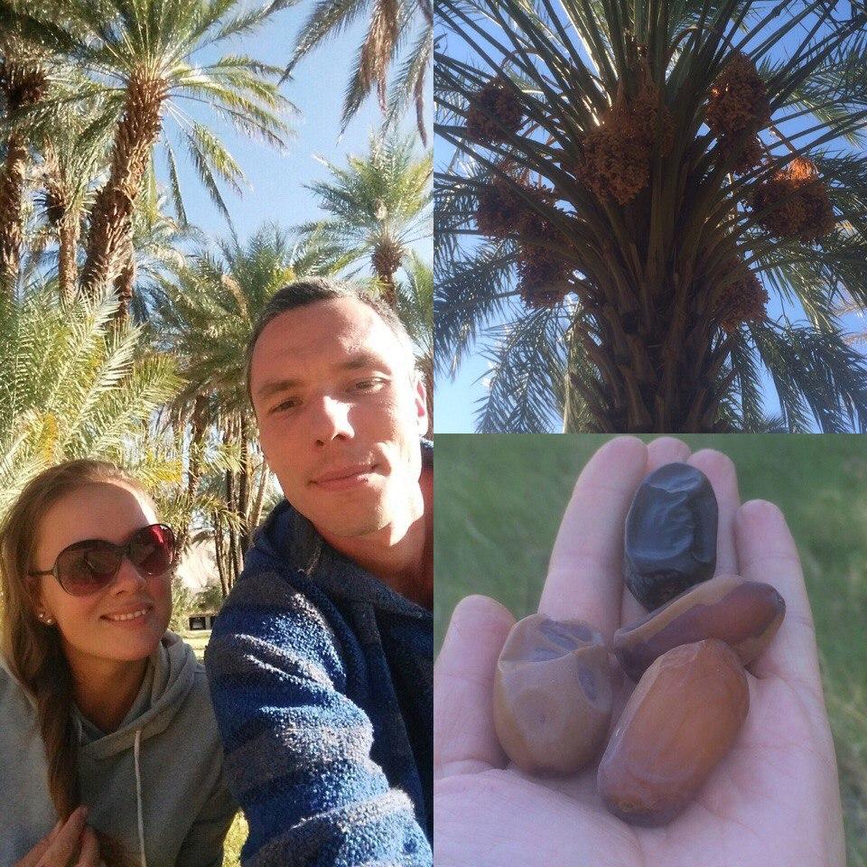 финиковые пальмы сша