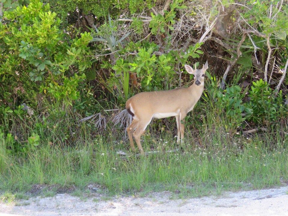 олень во Флориде
