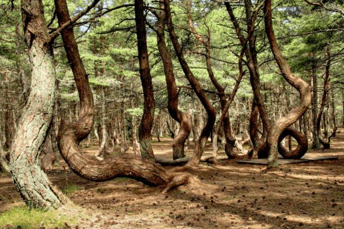 танцующий лес на куршской косе фото