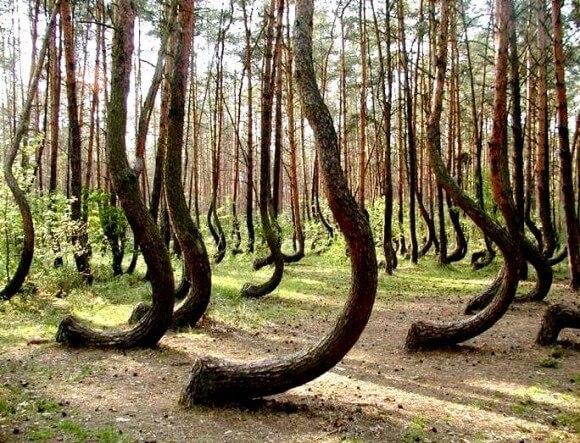 танцующий лес на куршской косе летом
