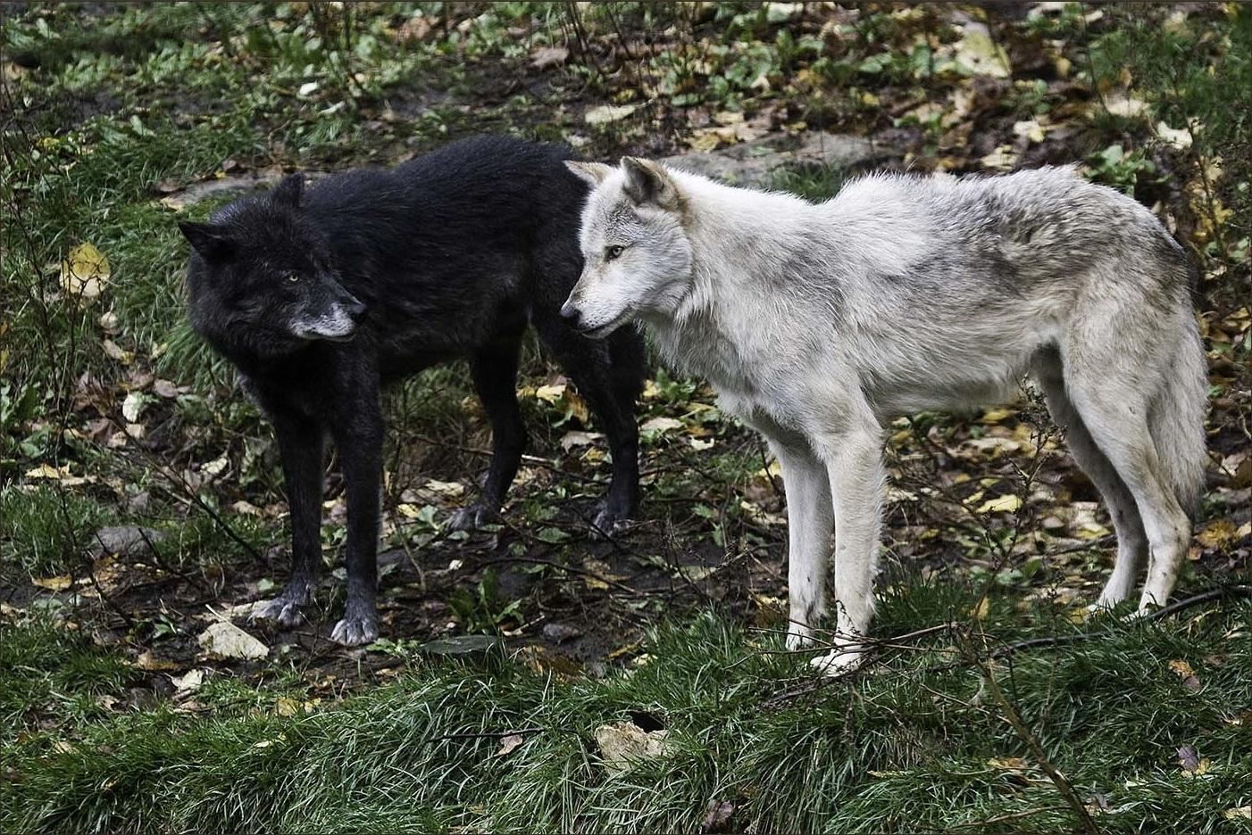 альфа самец волк