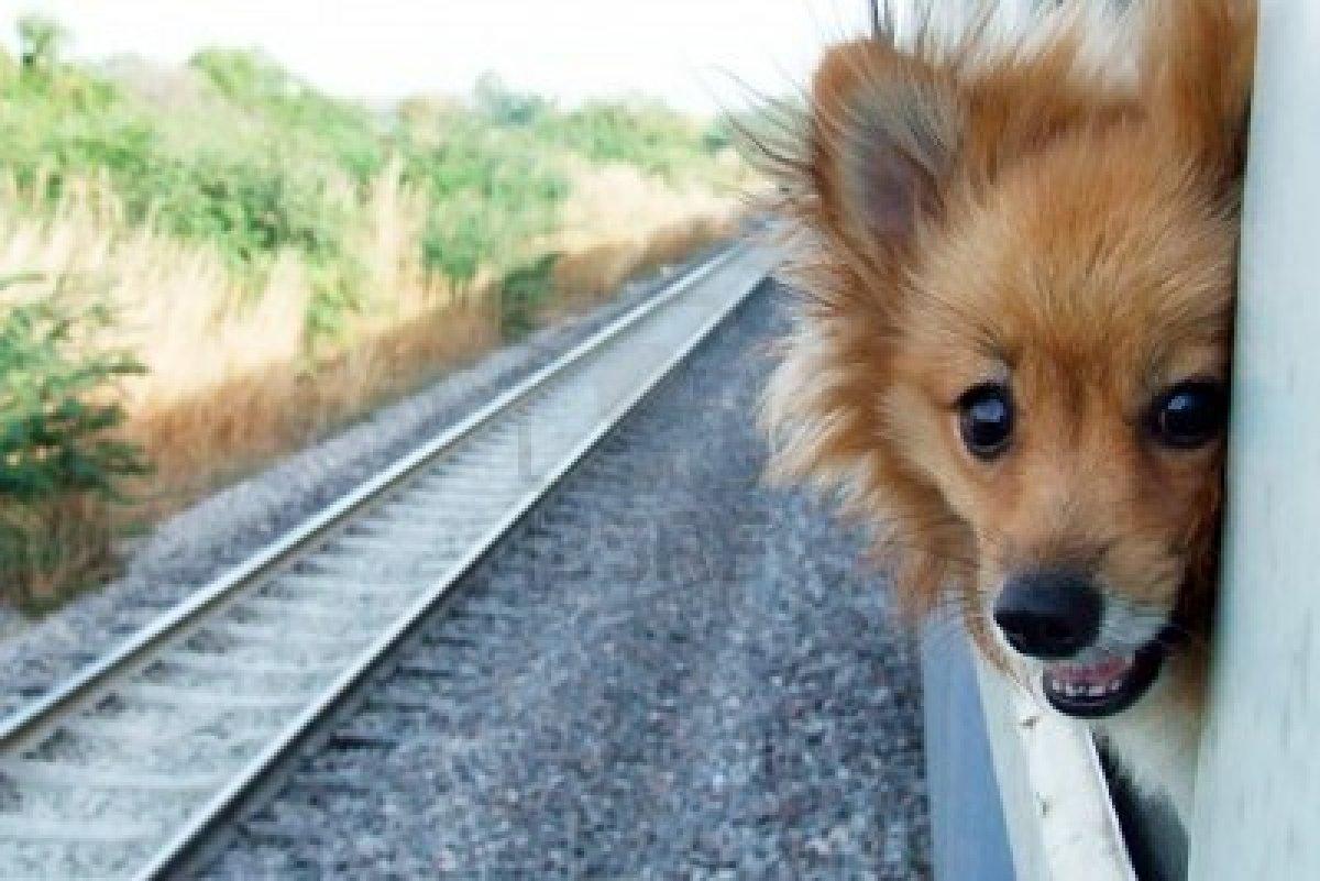 собака выглядывает из поезда
