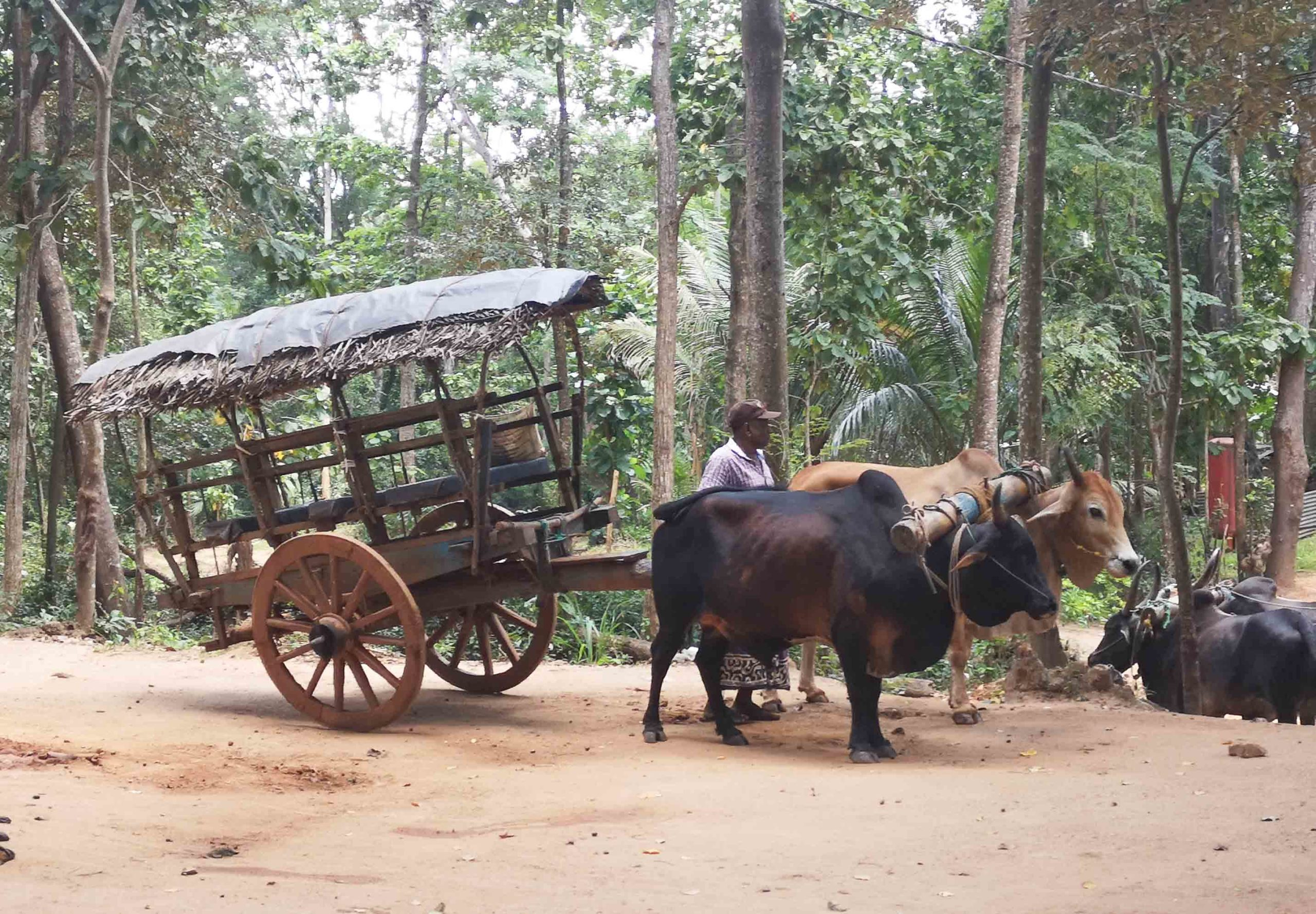 буйволы повозка шри ланка фото